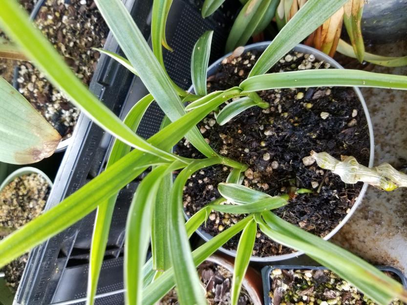 Habenaria radiata ( Egret Orchid )-15278043712657258746399150887722-jpg