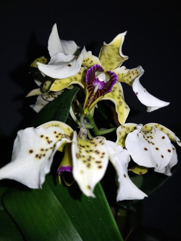 Dendrobium atroviolaceum-den-atroviolaceum-3-jpg
