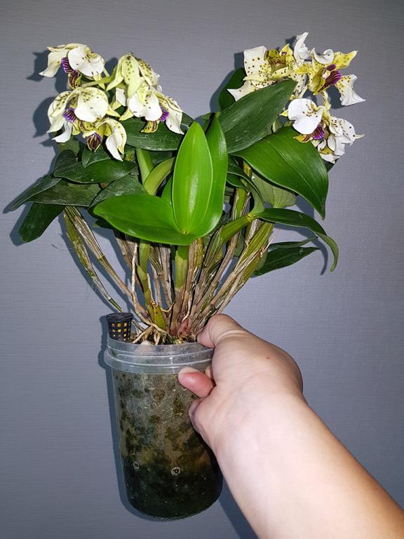Dendrobium atroviolaceum-den-atroviolaceum-1-jpg