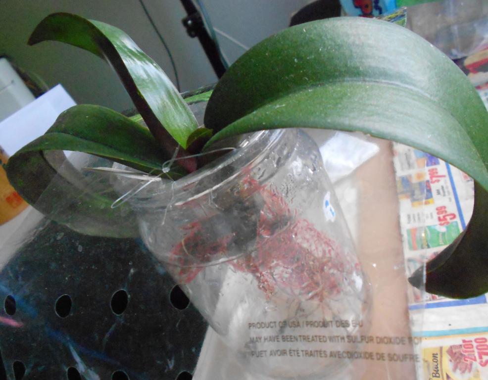 Phalaenopsis Orchid with yellow/brown leaves-net-potting-phal-10-jpg