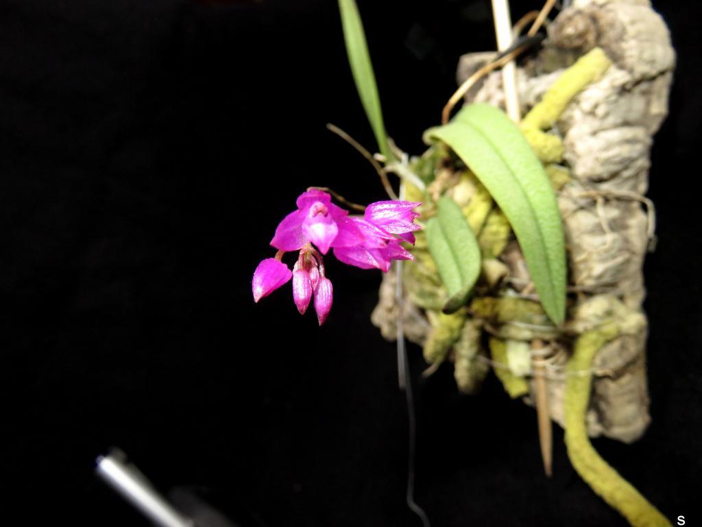 Nageliella (Domingoa) purpurea-nagl06181-jpg