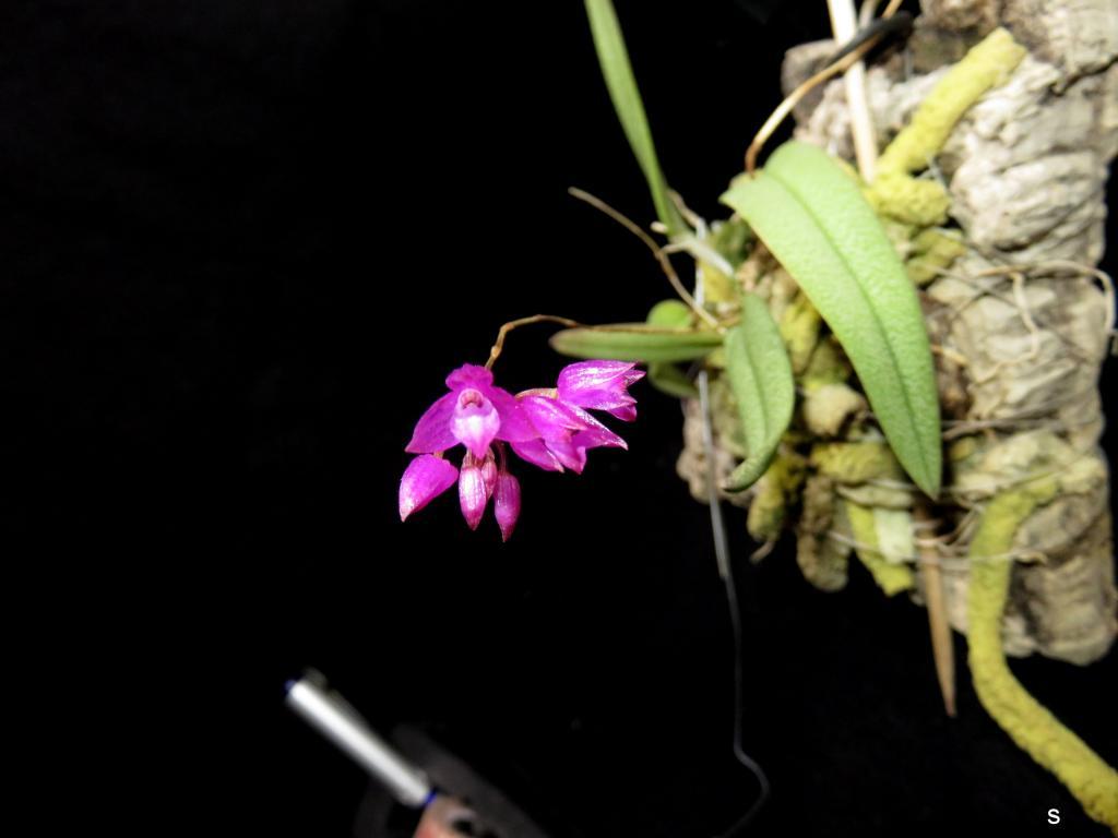 Nageliella (Domingoa) purpurea-nagl06183-jpg