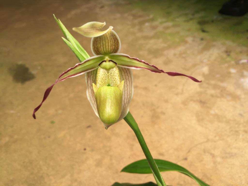 Phrag. longifolium first bloom-img_0623-jpg