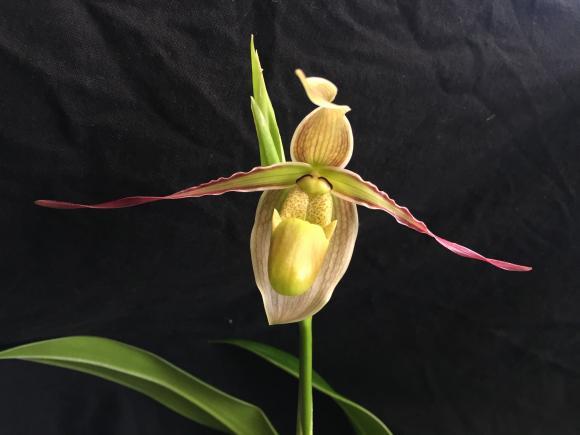Phrag. longifolium first bloom-fullsizeoutput_16d6-jpg