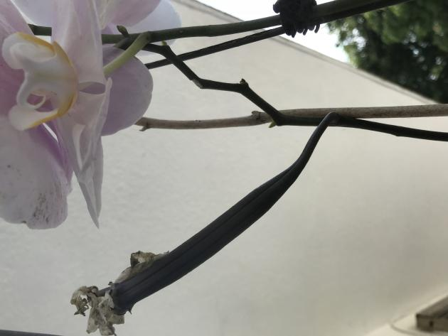 What is this? Growth looking thing on orchid but clearly part of the plant.-f253c27e-7534-4f13-8b18-84f576250313-jpg