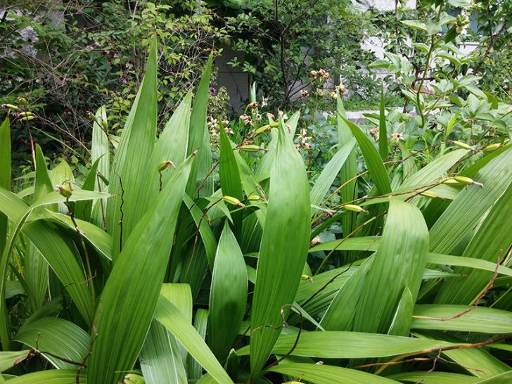 Bletilla striata growing in full sun.-lots-ble1-jpg