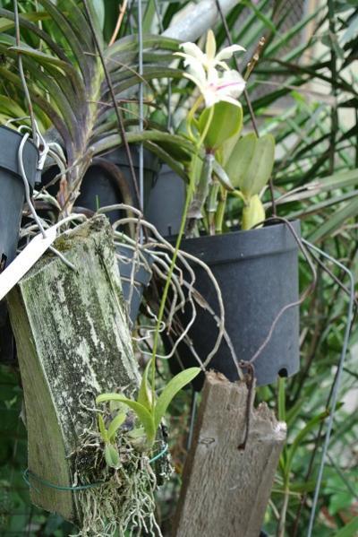 Broughtonia sanguinea-dsc_8772-jpg