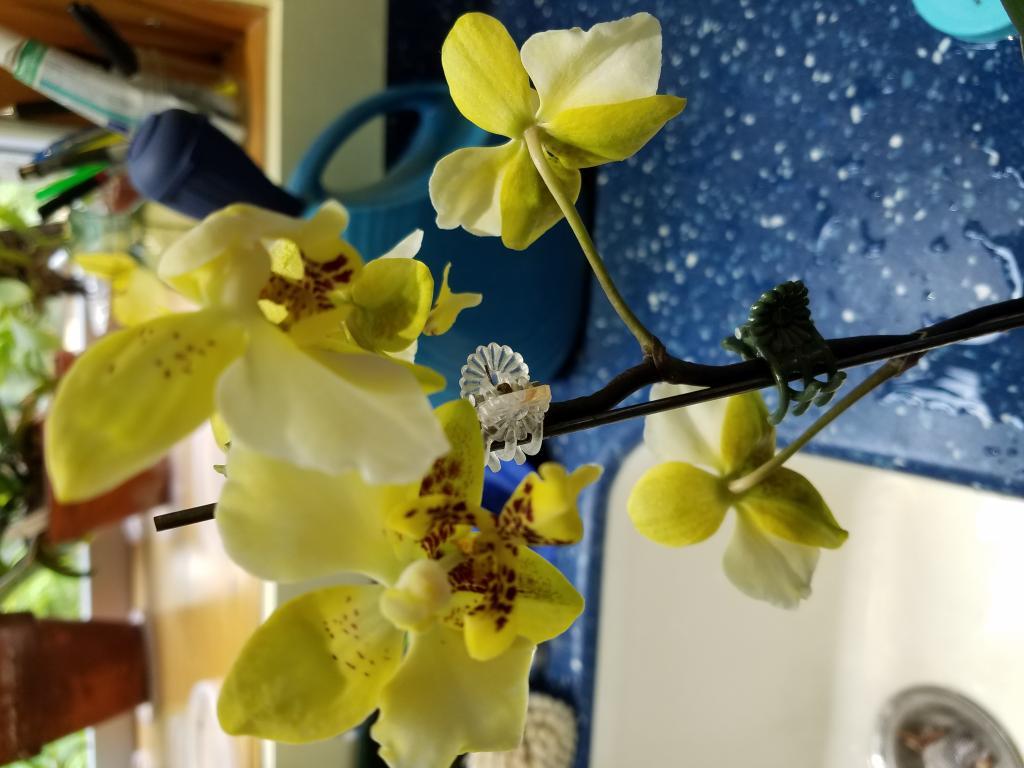 Stuartiana var. nobilis x self blooms-20180611_095813-jpg