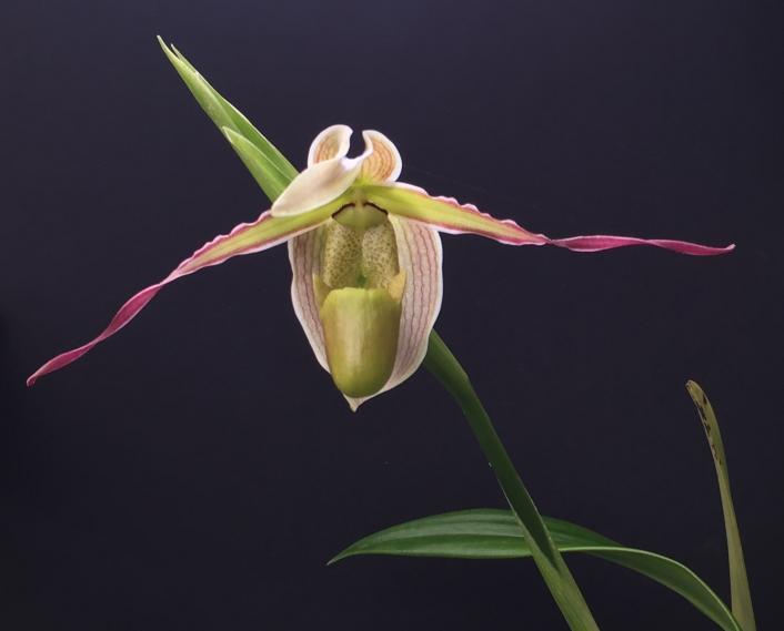 Phrag. longifolium first bloom-fullsizeoutput_16e2-jpg