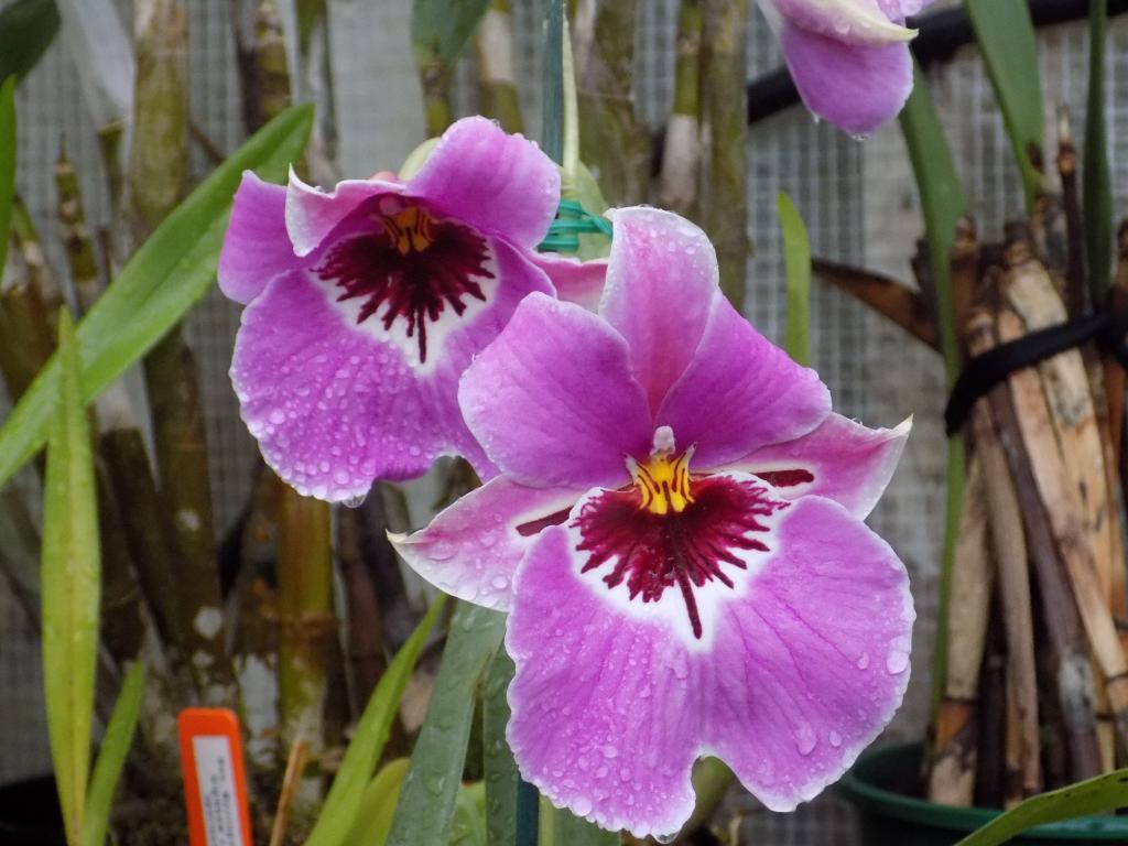"Miltoniopsis Breeding ""Help""-dscn0205-jpg"