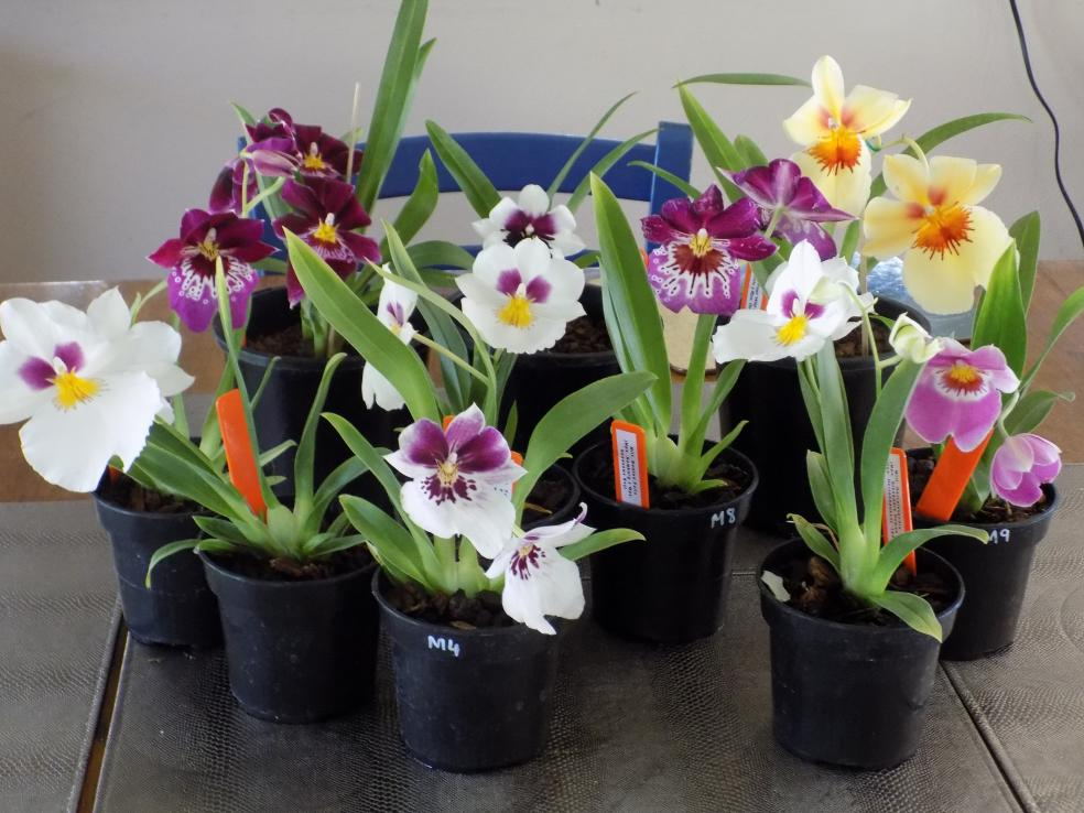 "Miltoniopsis Breeding ""Help""-mps-collection-2017-jpg"
