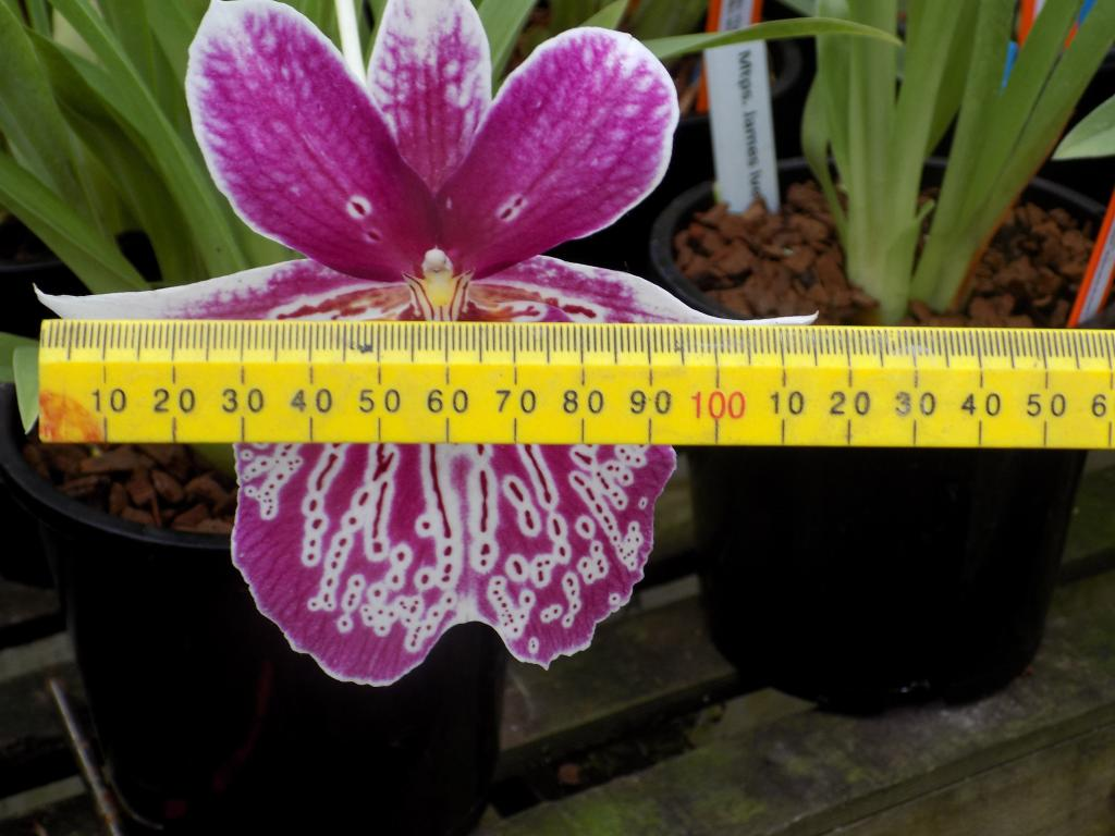 "Miltoniopsis Breeding ""Help""-mps-lawless-falls-jpg"