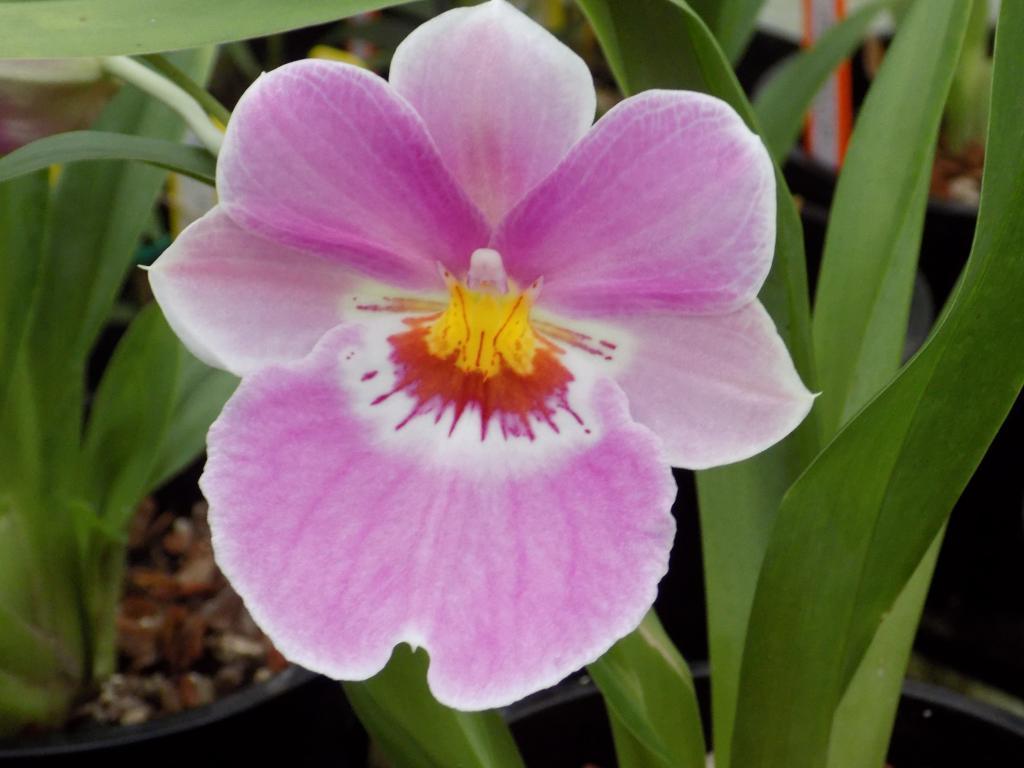 "Miltoniopsis Breeding ""Help""-mps-pink-cadillac-jpg"