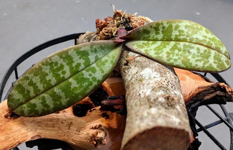 Can phaleonopsis sanderiana have mottled leaves?-00100dportrait_00100_burst20180613061801564_cover-jpg
