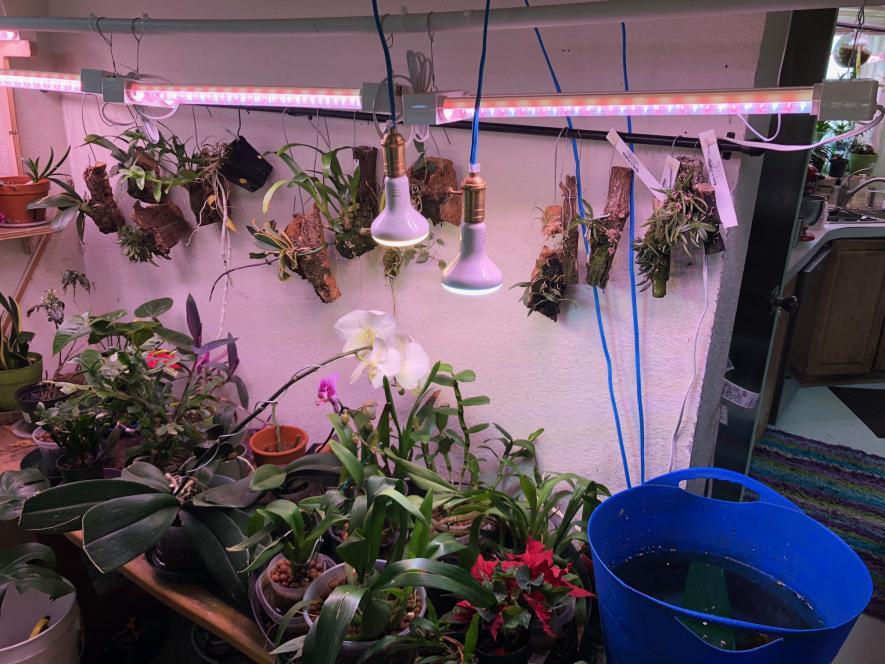 LED grow lights for bulbophyllums and species phalaenopsis-img_0817-jpg