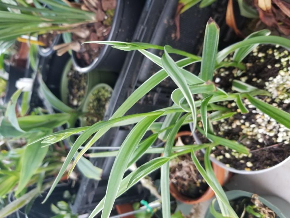 Habenaria radiata ( Egret Orchid )-15297984405563162803268254610887-jpg