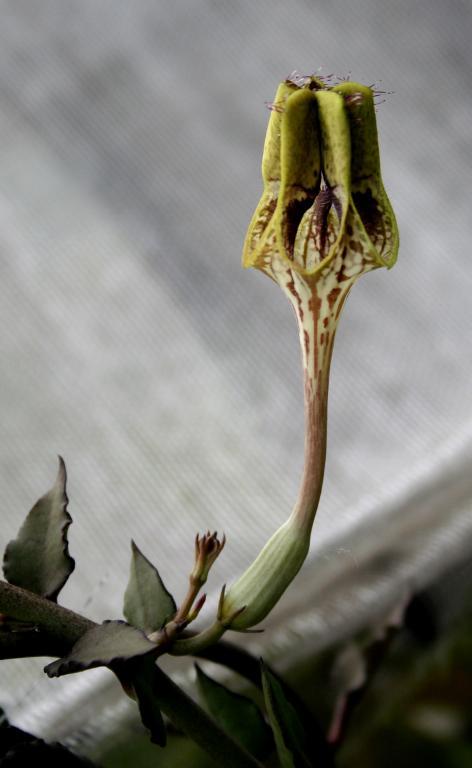 Ceropegia-ceropegia-flower-view-jpg