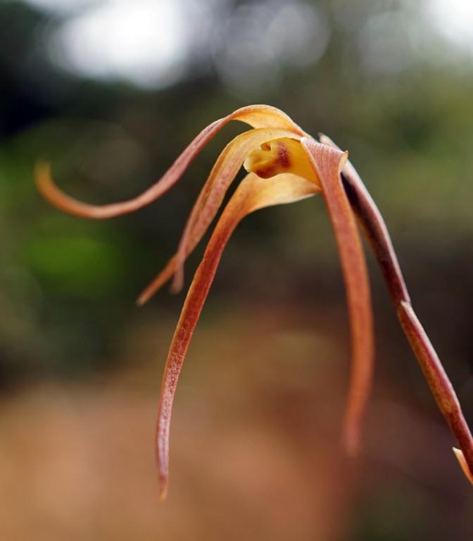 Colombia Orchid 6-dsc02801_dn-jpg