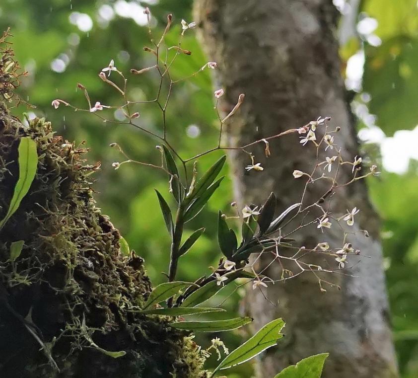 Colombia Orchid 7-dsc02845-dn1-jpg