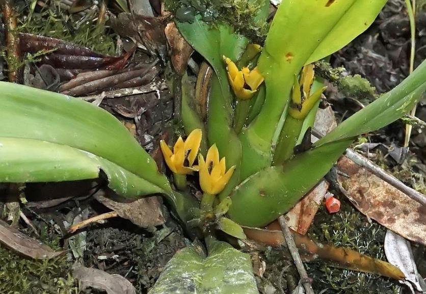 Colombia Orchid 8-dsc02874_dn2-jpg