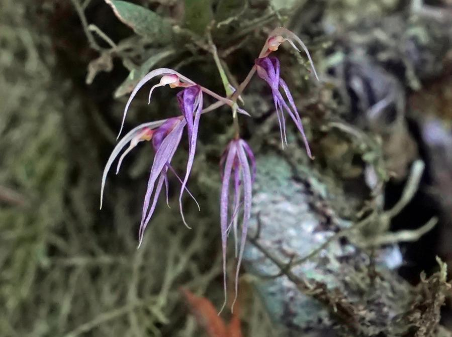 Colombia Orchid 11-dsc02814_dn1-jpg