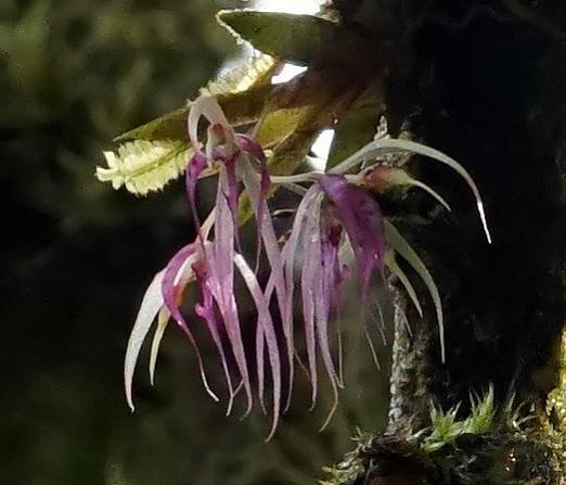 Colombia Orchid 11-dsc02901_dn2-jpg