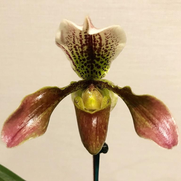 Paphiopedilum ID-paph-noid-flower-jpg
