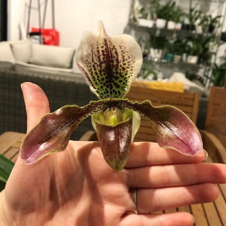 Paphiopedilum ID-paph-noid-flower-hand-jpg