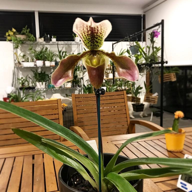Paphiopedilum ID-paph-noid-plant-jpg