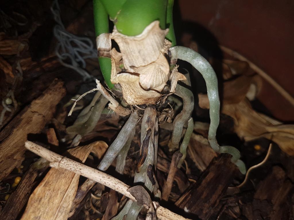 Phalaenopsis help please!-15306940980971075699503-jpg