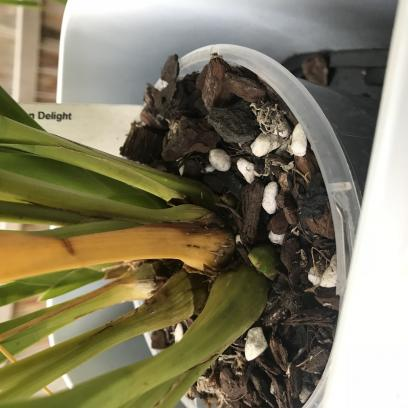 Cymbidiums - new growth or flower spike?-7f2c4cbd-7a55-4a90-893f-bb9130889169-jpg