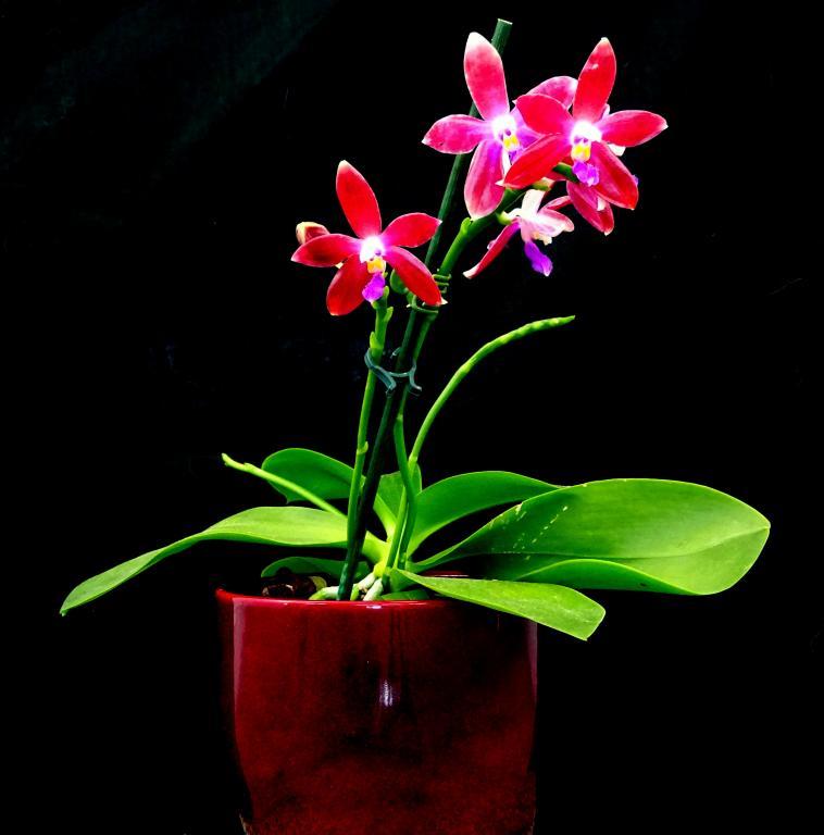 Phalaenopsis tetraspis x Crimson Cherub-orchids-phalaenopsis-tetraspis-crimson-cherub-003-jpg