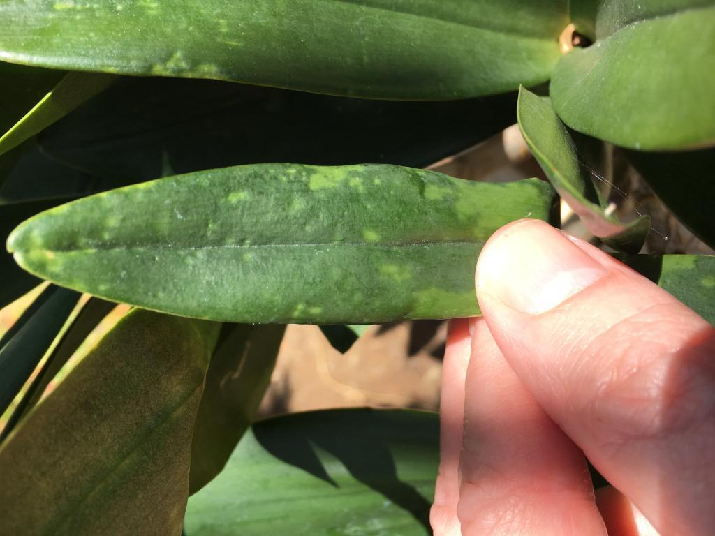 Leaf pitting on Dendrobium Delicatum-img_3012-jpg