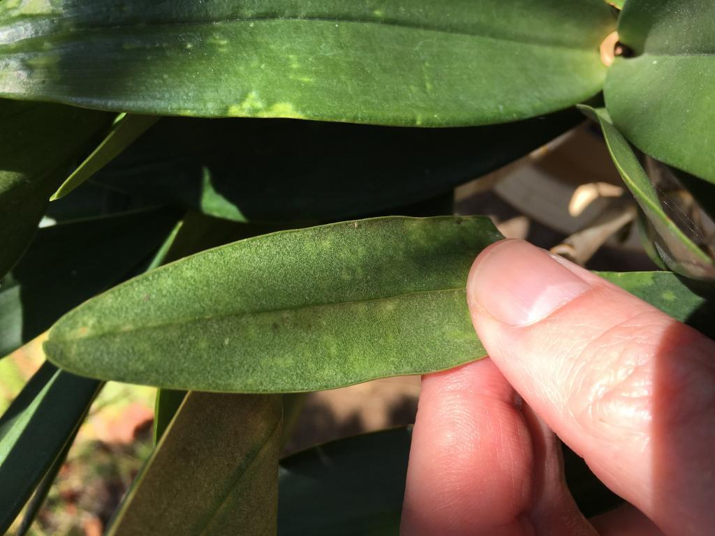 Leaf pitting on Dendrobium Delicatum-img_3013-jpg