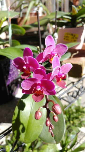 Keiki or Floral Branch?-20180706-orchids-spike-mini-phal-berry1_5x7-jpg