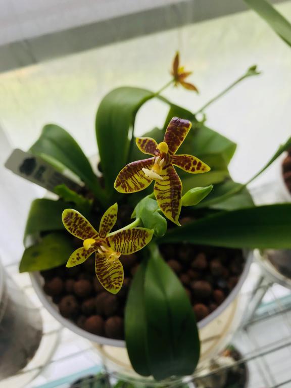 Miss Orchid Girl-phal-cornucervi-3f-7-6-18-jpg