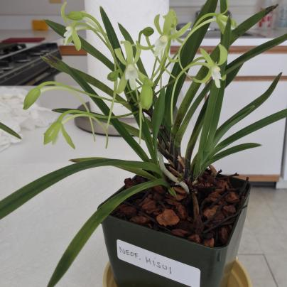 Neofinetia Kishu Ryokufu in bloom-005916cc-2e95-45aa-aba6-d4bf9bcaaf85-jpg