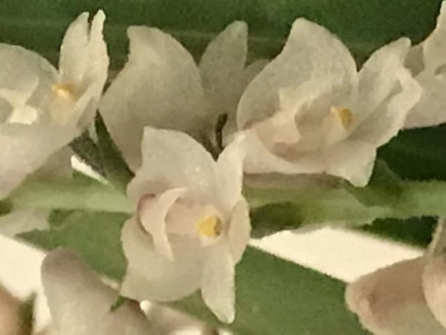 Eria spicata (?)-0dbe5200-0206-4cdb-8e03-f1ca28df59bc-jpg