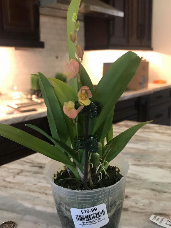"Oncidium Mini ""Red Bug"" Substrate Question...-orchid-mini-4-jpg"