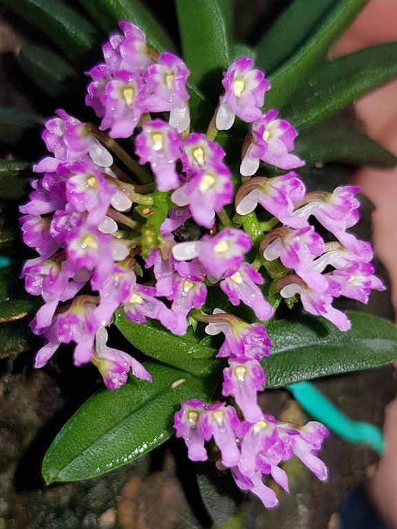 Schoenorchis fragrans-fragrans-2-jpg