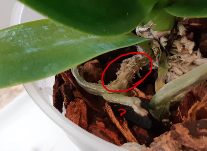Need help with stressed/recovering Phal (lacking roots, yellowing leaves)-miniphal1-jpg