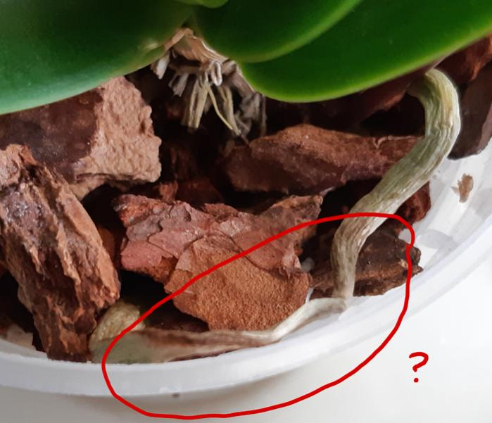 Need help with stressed/recovering Phal (lacking roots, yellowing leaves)-miniphal2-jpg