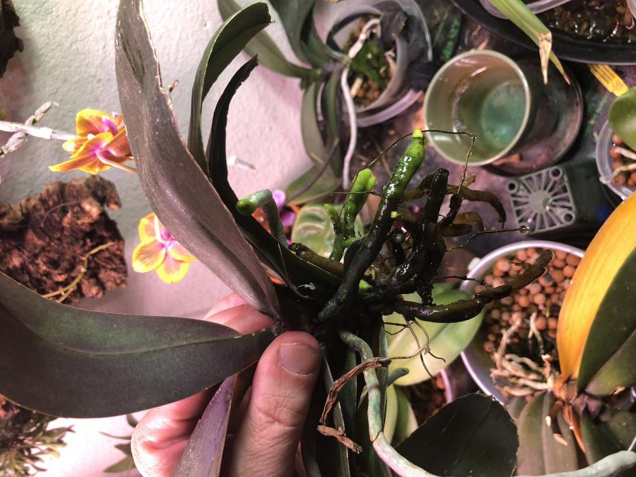 Need help with stressed/recovering Phal (lacking roots, yellowing leaves)-img_5507-jpg