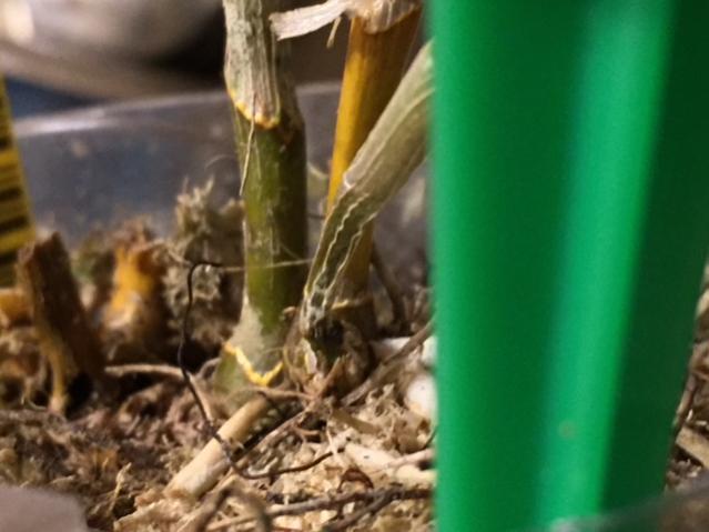 Dendrobium Nobile Hybrid with soft spot on new growth.-denphoto4-jpg