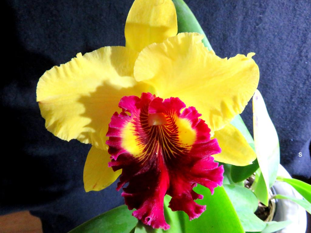 Blc Williette Wong 'The Best'-catww07181-jpg