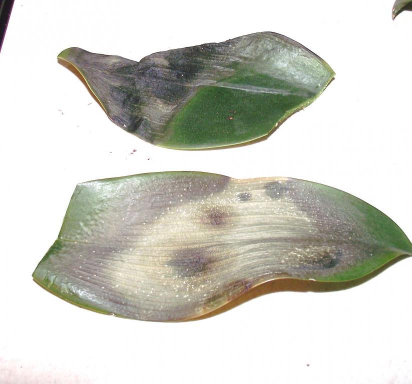 what is this disease on my phaleonopsis-orchiddisease-001-jpg