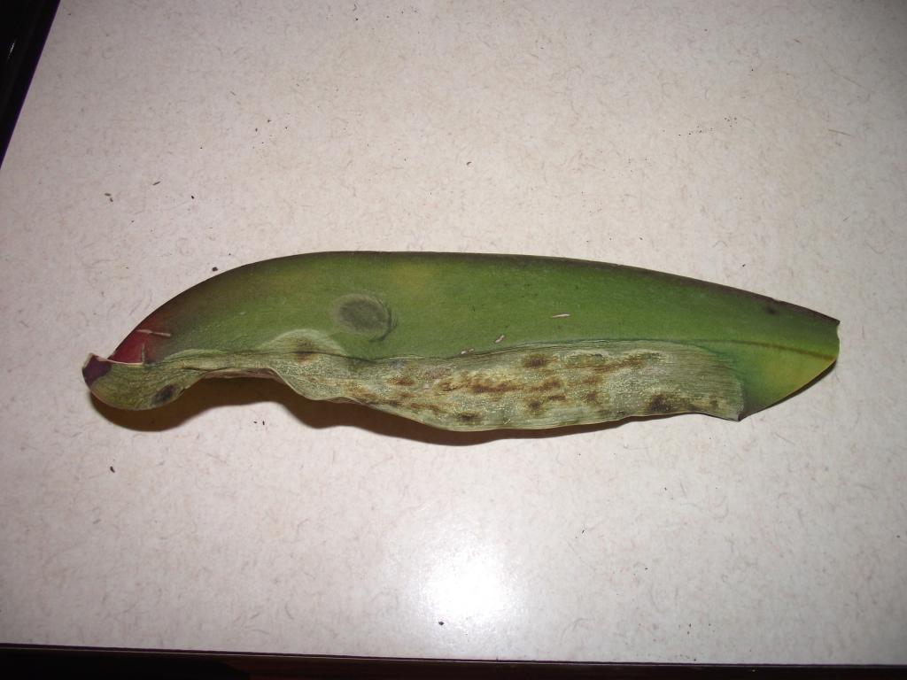 what is this disease on my phaleonopsis-orchiddisease-003-jpg