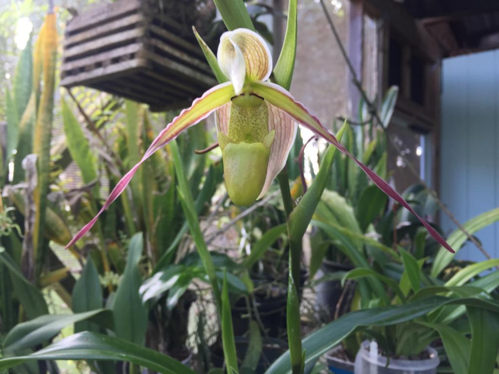 Phrag. longifolium first bloom-img_0662-jpg