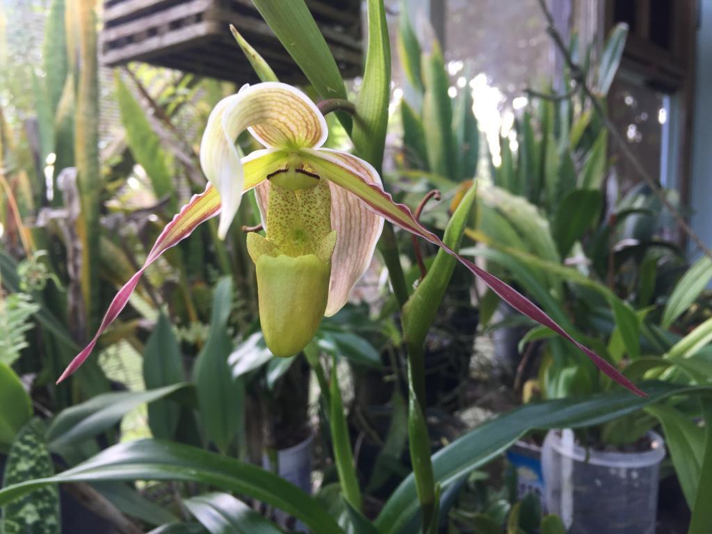 Phrag. longifolium first bloom-img_0664-jpg
