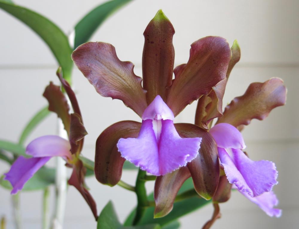 Cattleya bicolor brasiliensis-img_0879-jpg
